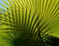 Crossed palm leaves
