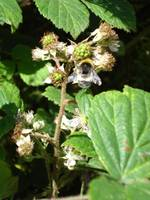 Bee Bramble