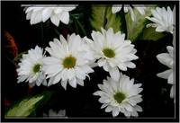 floral white daises