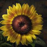 """Corona Sunflower"" by bobbretell"