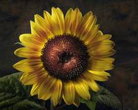 Corona Sunflower