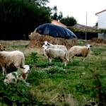 """Happy Sheep, Galicia, Spain"" by GinaBarile"