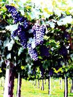 Villa Giona Grapes bright