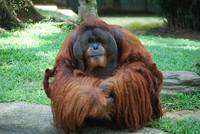 The Old Orang Utan in Captivity