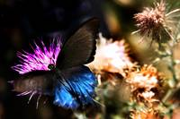 Blue Butterfly on Thistle