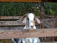 Fenced goat