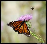 Monarch and bumblebee...