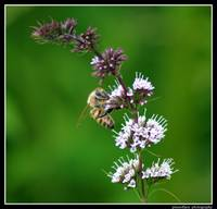 Honeybee on Wild Peppermint...