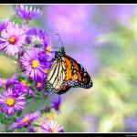 """Monarch on New England Aster..."" by pieceoflace"