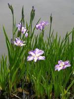 Japanese Garden Water Iris 2 by Carol Groenen