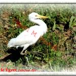 """Cattle Egret"" by wael_elshiekh"
