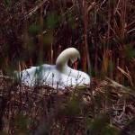 """""""Nesting Swan"""" by bavosiphotoart"""