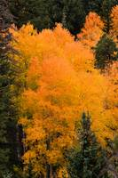 The Colors of Aspens