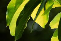 Avacado Leaves
