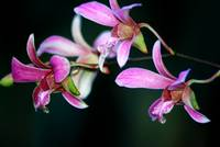 Tiny Orchids.2