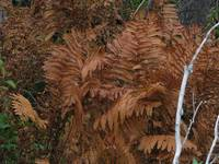 Brown Ferns