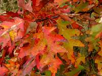 Red Oak Leaves
