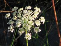 Queen Anne's Lace     1078
