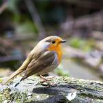 """Robin Red Breast"" by dayjay41"