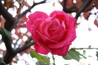 Pink Rose Straight On 10_31_08