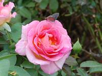 Butterfly on Pink Rose
