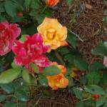 """Red and Yellow Roses"" by JSybrantPhotos"