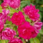 """""""Magenta Rose Bush"""" by JSybrantPhotos"""