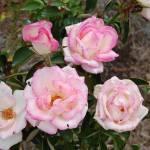 """""""Pink Rose Bush"""" by JSybrantPhotos"""
