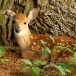 """""""Fawn Resting"""" by alcaporaso"""