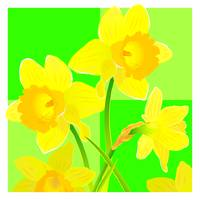 Daffodils against green backdrop
