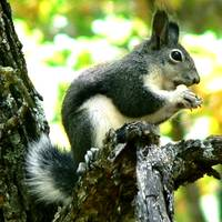 Tufted Squirrel