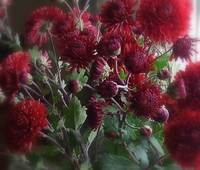 Red Chrysanthmum