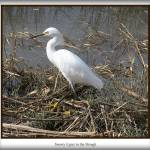 """Snowy Egret"" by MyRidgebacks"