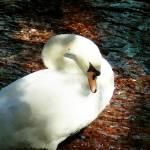 """Swan"" by Jasika"
