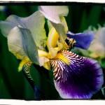 """Vintage Iris"" by cmcastiglia"