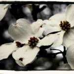 """Dogwood Tree - Enhanced Reda"" by cmcastiglia"