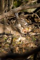 Bedded Whitetail Deer