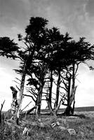 Tomales Trees BW