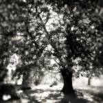 """""""mighty chestnut tree"""" by f2point4"""