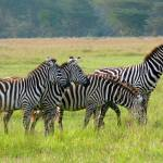 """Young Zebras"" by stockphotos"