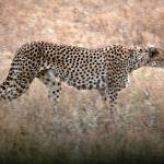"""Prowling Cheetah"" by stockphotos"