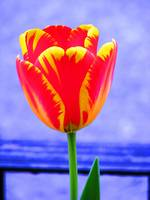 Tulip on Blue