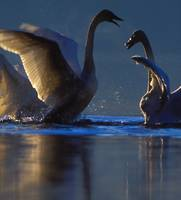 swans greeting