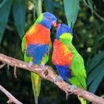 """""""Rainbow Lorikeets"""" by emolee84"""
