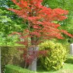 """Red-orange Maple Tree"" by andrianapamella"