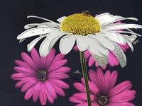 White Daisy and Bee
