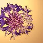 """""""Aster"""" by Kirby"""