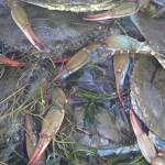 """""""Blue Crabs"""" by thestuffedolive"""