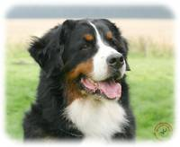Bernese Mountain Dog 9Y066D-046