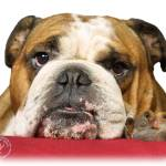 """Bulldog 9W099D-039"" by Traffordphotos"